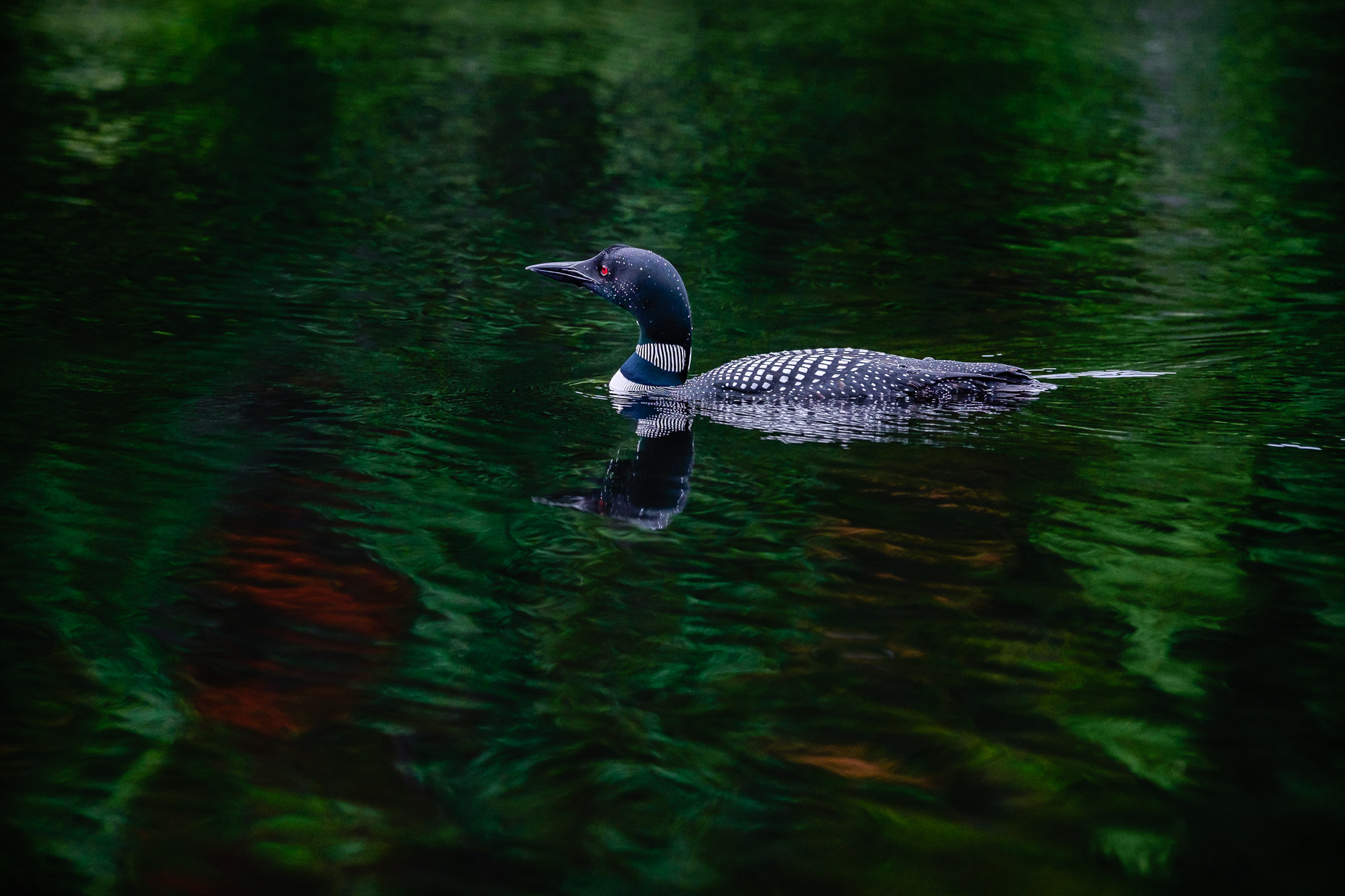 Loon and reflections, Algonquin Provincial Park, Ontario, Canada